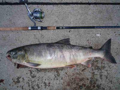 2010の1号鮭