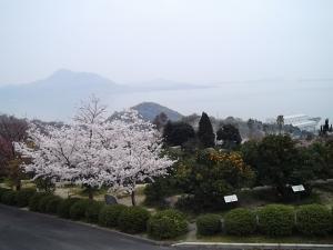 シトラスパークの桜2