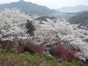 百華園の桜