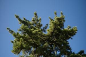 デカイ松の木