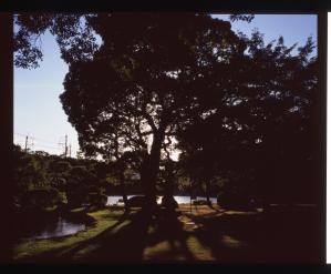 夕焼けを隠す大木
