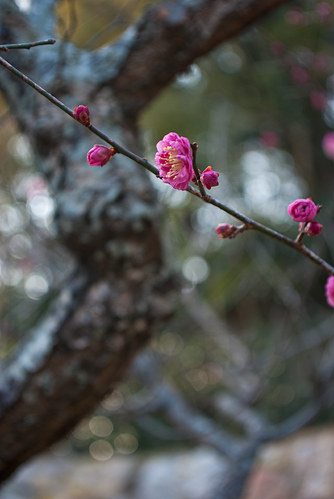 浜松城公園の梅