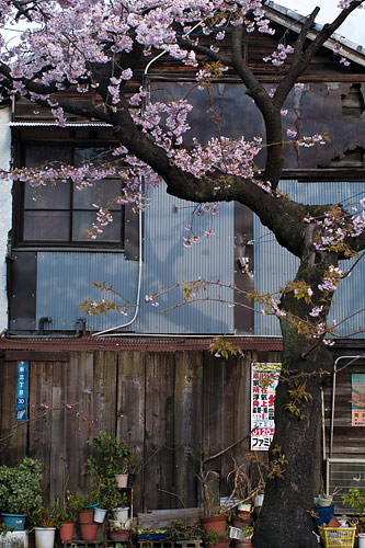 高岳桜-1