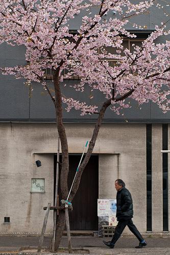 高岳桜-9