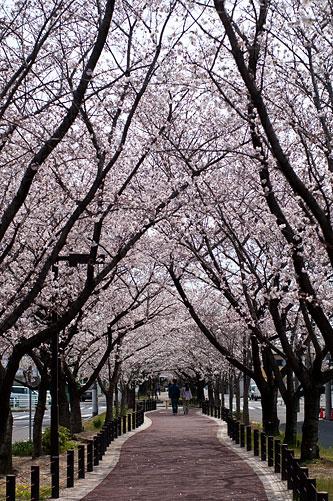 桜便り6-1