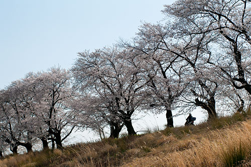 桜便り6-10
