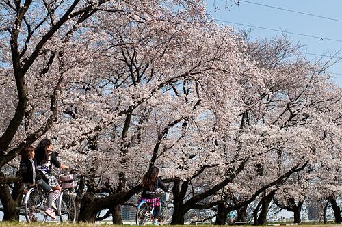 桜便り6-12