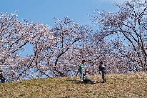 桜便り6-13