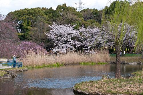 桜便り6-16