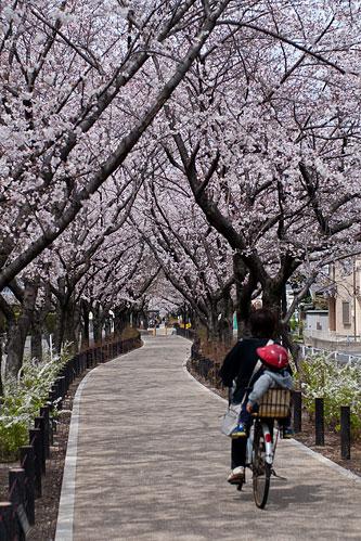 桜便り6-7