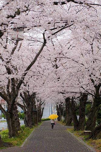 桜便り7-1