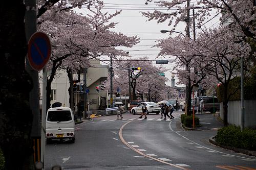 桜便り7-10