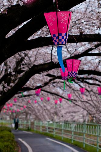 桜便り7-11