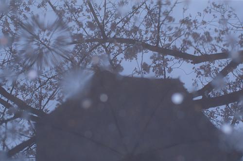 桜便り7-12