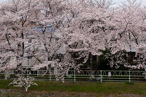 桜便り7-14