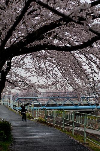 桜便り7-17