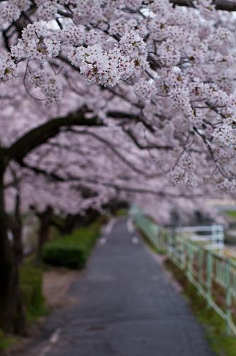桜便り7-18