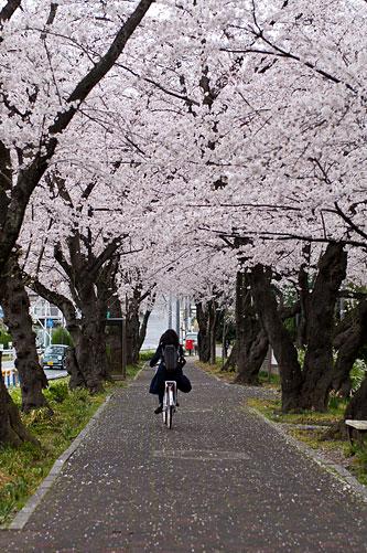 桜便り7-6