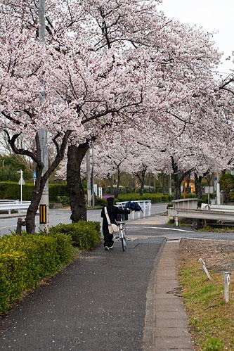 桜便り7-8