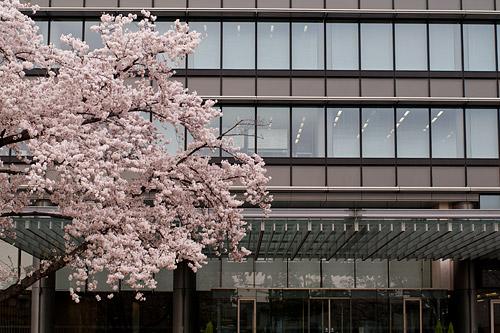 桜便り8-4