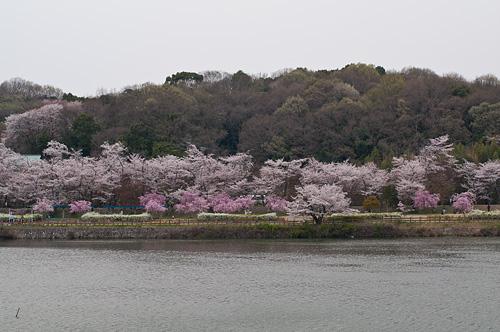 桜便り8-6