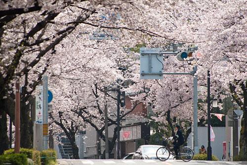 桜便り9-1