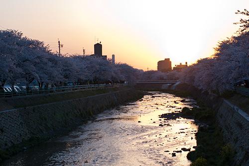 桜便り9-13