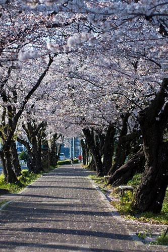 桜便り9-3