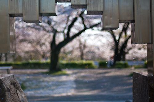 桜便り9-5