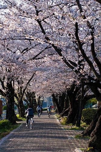 桜便り9-7