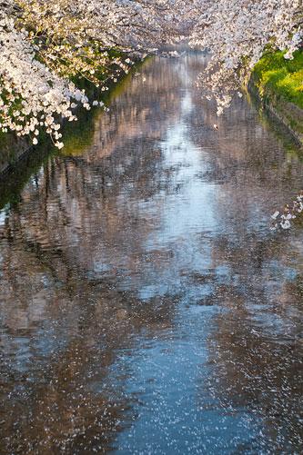 桜便り10-7