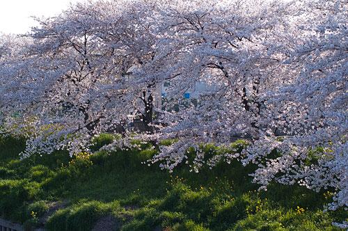 桜便り11-1