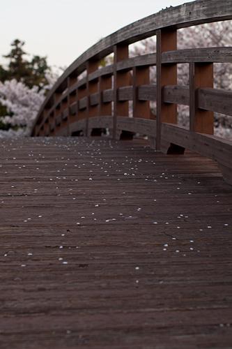桜便り11-11