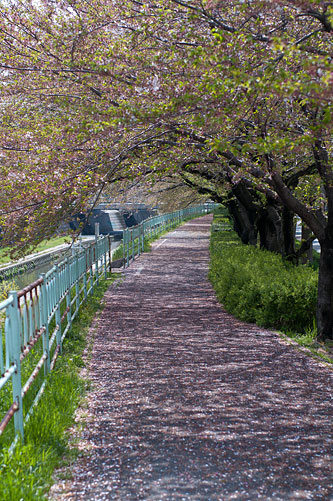 香流川桜-14
