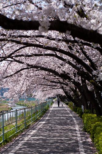 桜便り14-1