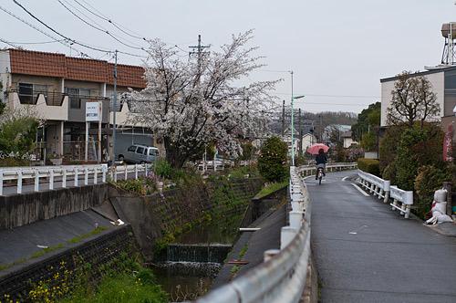 桜便り14-10