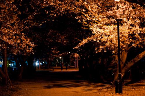桜便り14-15