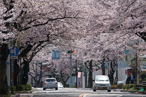 桜便り14-2