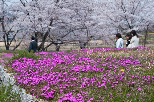 桜便り14-3