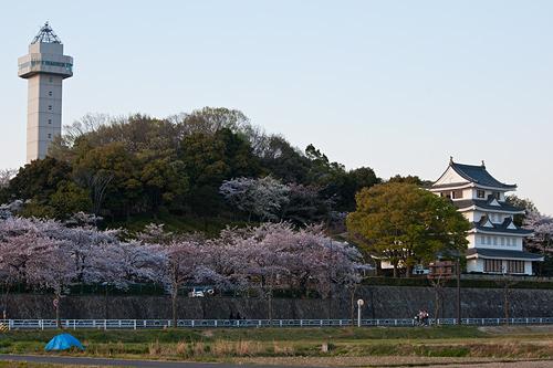 桜便り14-6