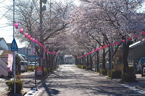 近所桜1-1