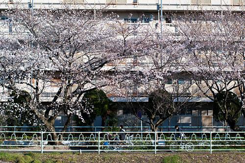 近所桜1-10