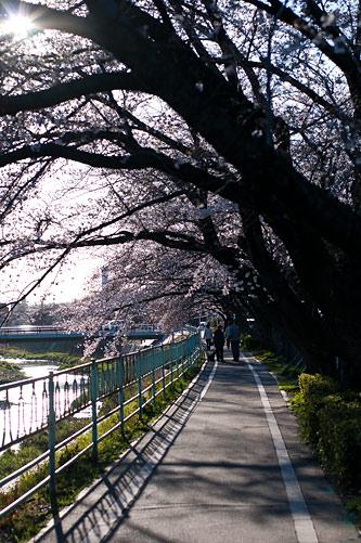 近所桜1-12