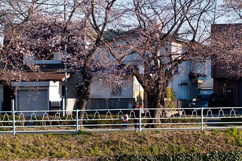 近所桜1-14