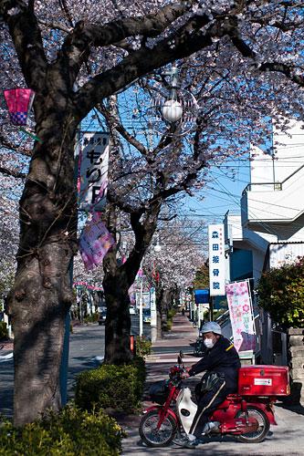 近所桜1-2