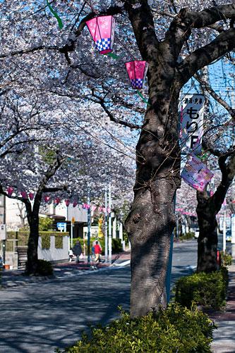 近所桜1-4
