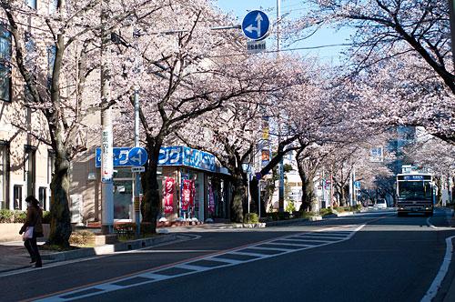近所桜1-6