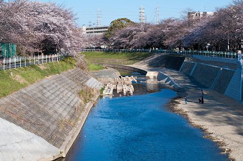 近所桜1-9