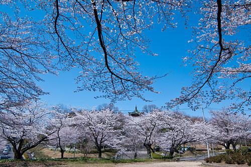 桜便り2-1