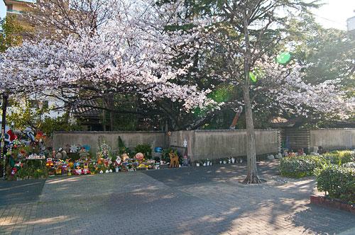 桜便り2-12